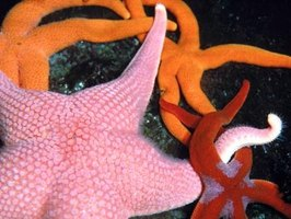 Starfish vary widely in size and color.