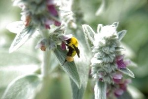 Bumble bees are usually larger and hairier than other types of bees.