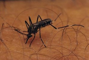 Mosquitoes feed off blood.
