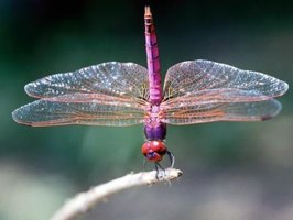 Dragonflies have large multifaceted eyes.