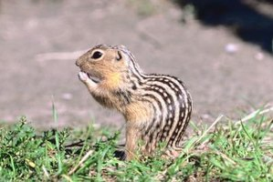 Striped gophers can destroy your yard.