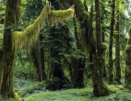 Many living creatures dwell within the thick vegetation of temperate rain forests.