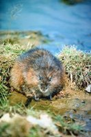 Muskrats live up to four years.