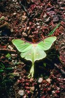 A fully grown luna moth can be more than 4 inches from wingtip to wingtip.