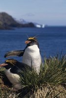 Macaroni penguins are among the most social birds in the world and can form large colonies.