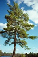 Hardwood trees, such as pines, are ideal for a tree house.