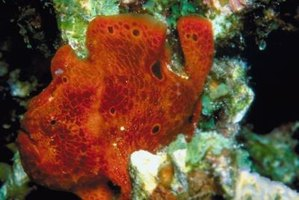 Frogfish, like other angler fish, come in a variety of colors.