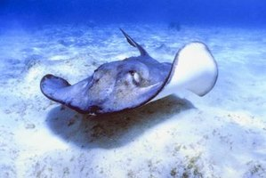 In the water, stingrays are generally harmless unless provoked.