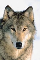 The gray wolf, or timber wolf, can be found in cold climates on three continents.