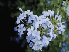 Plumbago is a rapid grower.