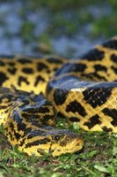 The yellow anaconda is at home in large parts of South America.