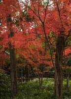 Japanese maples vary considerably in size.
