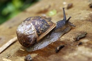 Common snails are members of the mollusk family.