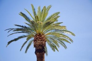 Date palms, with fat and tall trunks, develop huge, wide-spreading root systems.