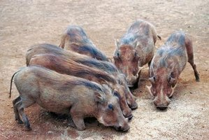 Pigs must eat a variety of foods to ensure proper growth and development.