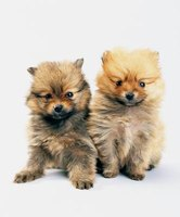 Pomeranians are very small, but they possess a loud bark.