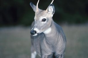 Learn the symbolic meaning of deer.