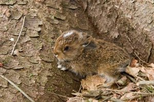 Chipmunks use leaves and yard debris to cover their burrow entrances.