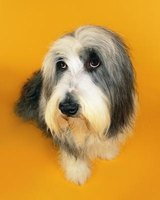 Grooming your bearded collie takes time and practice and must be done before they are bathed.