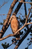The red-shouldered hawk can sometimes be seen hunting in Indiana.