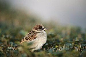 House sparrows are a prolific small bird that can cause damage to buildings when they infest an area.