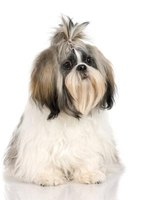 A Shih Tzu is a low-dander dog.
