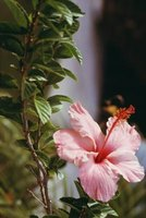 At maturity, hibiscus leaves are shaped like hearts.