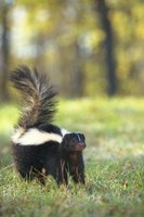 Prevent skunks from digging by using pesticides or natural remedies.