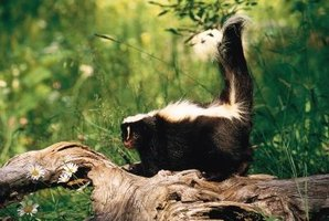 Skunks spray when they feel threatened by other animals or humans.