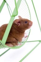 Hamsters are easy to take care of, making them a popular pet.