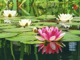 Lily pads should cover about 30 percent to 50 percent of a pond's surface.