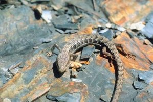 Alligator lizards can be unwelcomed pests.