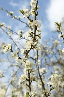 You can identify an ornamental pear by the sickenly sweet smell of the blooms.