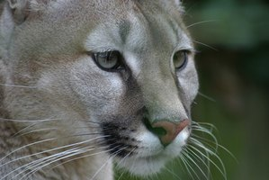 The puma, or mountain lion, is the largest big cat in the western hemisphere.