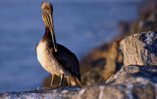 Pelicans dwell near bodies of water that harbor fish and waterfowl.