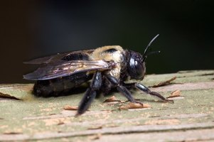 Carpenter bees burrow holes in wood and may cause structural damage to houses.