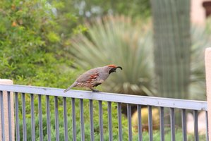Quail are easy to catch with a simple wire trap