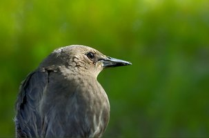 You should only feed a baby starling who is injured and cannot feed itself.