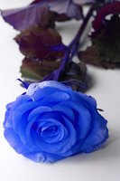 A deep-blue rose.
