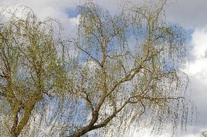 Willows are fast growing and fast dying trees.