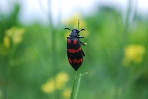 Box elder bugs cause little damage in gardens.