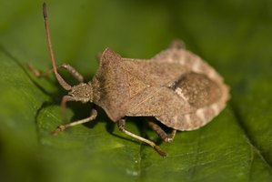 Control stinkbugs in the home naturally, even with pets.