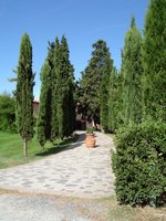 Use Italian cypress for dramatic landscapes.