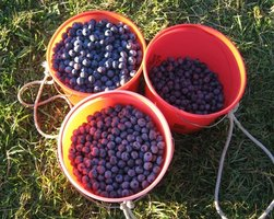 Birds want to harvest delicious blueberries as much as you do.