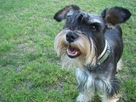 Learn how to groom your schnauzer's face.