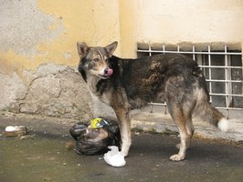 Scavenging dogs are at risk for stomach rot.