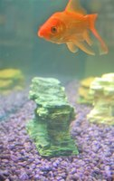 Red capped goldfish are related to common goldfish.