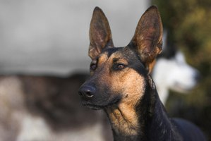 There are many great food options for promoting the health of your German shepherd.