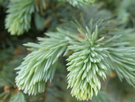 White spruces' short needles are pale green to gray-green.