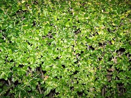 How to Shape an Overgrown Privet Hedge